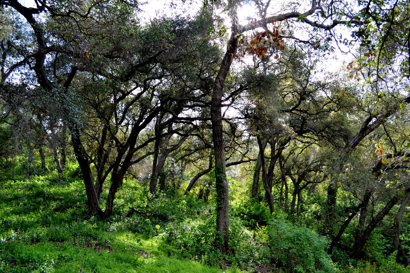 Oak Trees in Descanso Gardens